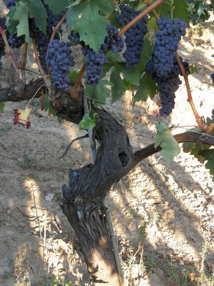 tempranillo_vine_with_grape_clusters1